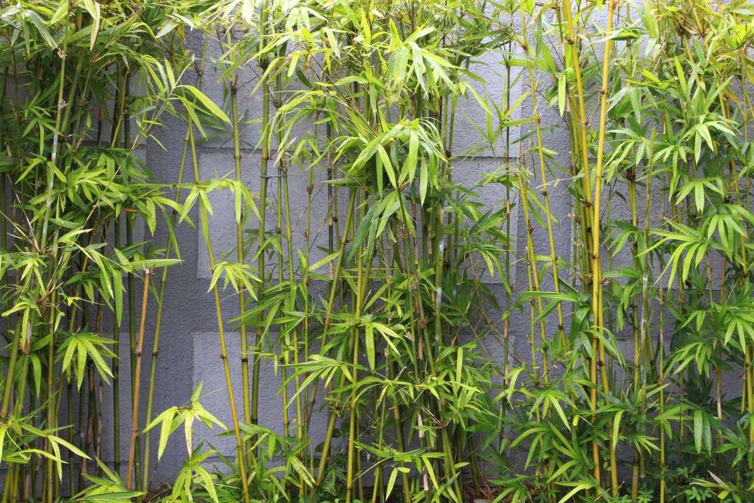 bamboe-kopen-groencentrum-hoogeveen