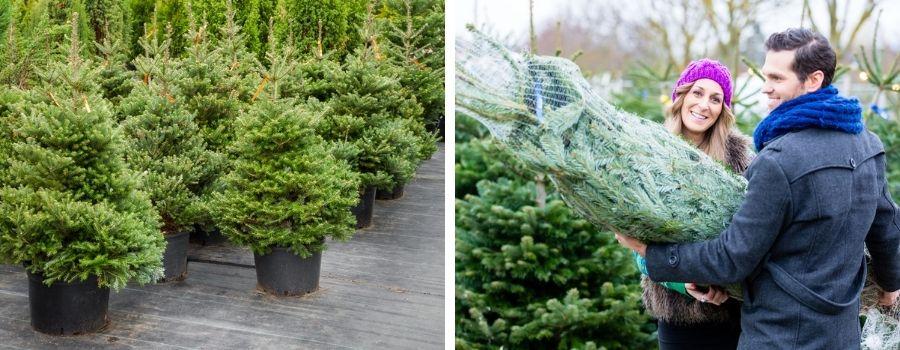 Kerstbomen - Groencentrum Hoogeveen
