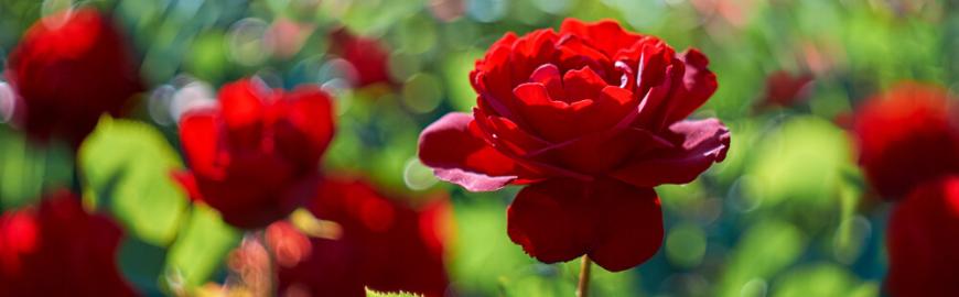rozen-klimplanten-kopen-hoogeveen